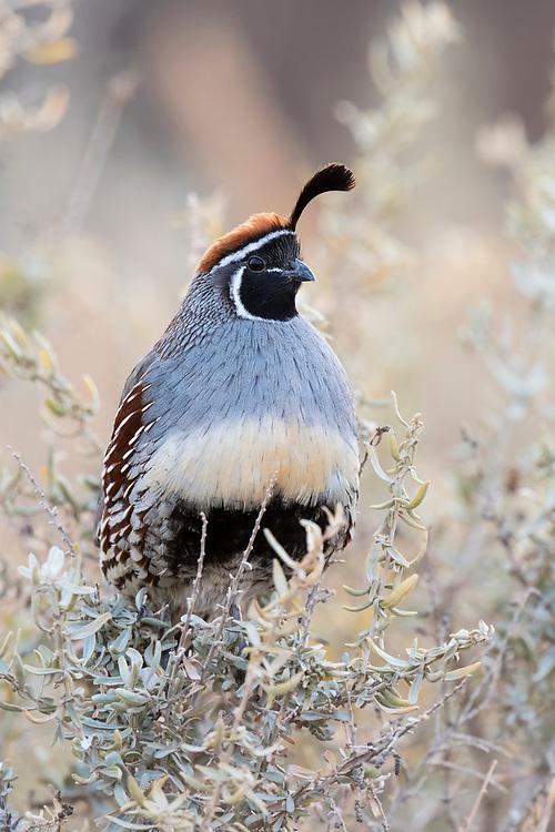 Gambel's Quail, Callipepla gambelii, male, Bosque del Apache, New Mexico
