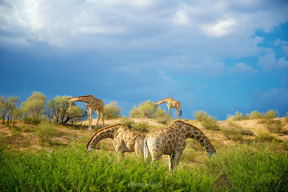 Four Giraffe (Giraffa camelopardalis) feeding with their heads hidden in an interesting mirror effect.