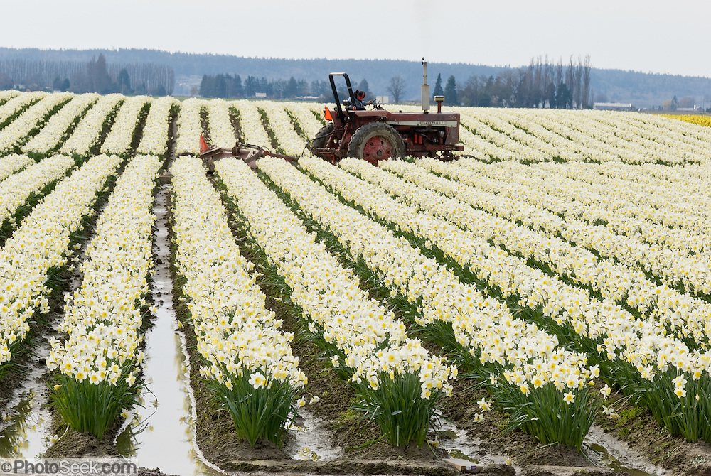 A farm tractor drives though a field of white daffodil (Narcissus) flowers bloom in the Skagit River Delta, Washington, USA between the towns of Mount Vernon and La Conner.