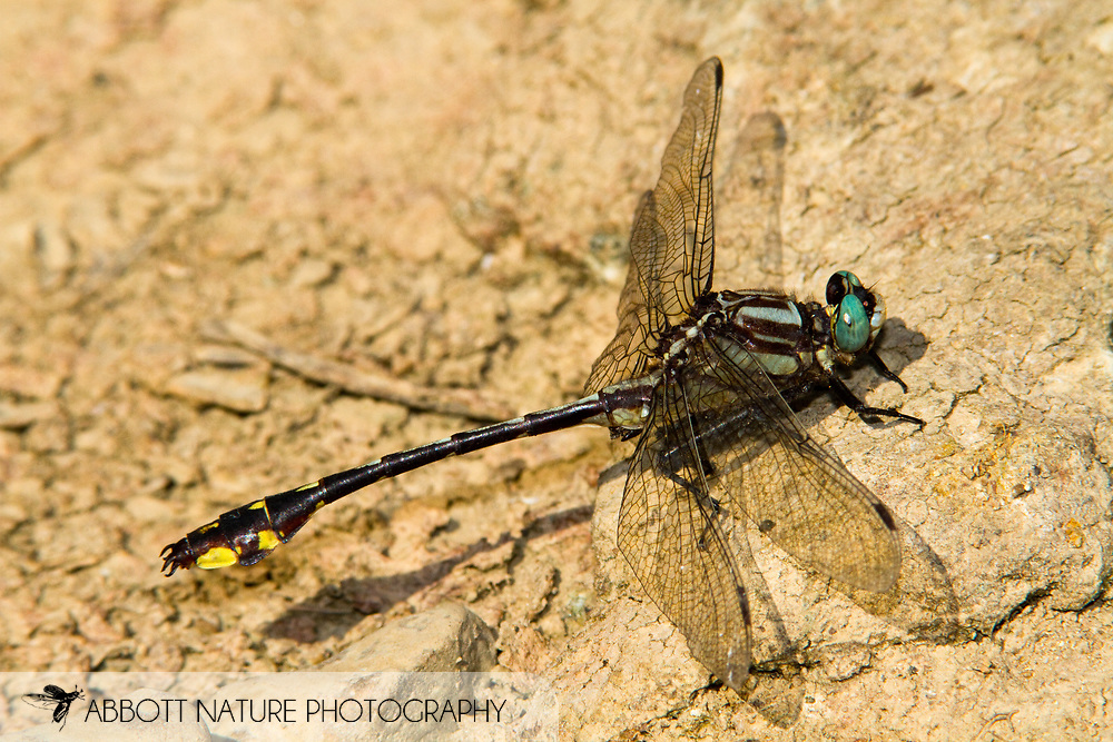 Handsome Clubtail (Gomphurus crassus) - male<br /> TENNESSEE: Marshall Co.<br /> Duck River off Milltown Rd.; 10 mi N of Lewisburg<br /> 1.July.2010<br /> J.C. Abbott #2467