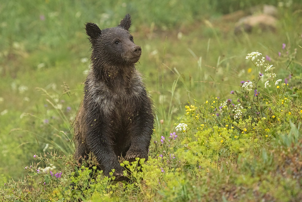 Soaked by a fleeting rainstorm, a curious grizzly cub forages in a meadow of wildflowers along Yellowstone's Dunraven Pass. Rich in edible plant life, this area is a favorite of grizzlies during the summer months.
