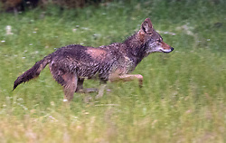 May 26, 2019 - Elkton, OREGON, U.S - On a damp early morning, a wild coyote runs through a pasture on a sheep farm in rural western Oregon near Elkton. (Credit Image: © Robin Loznak/ZUMA Wire)