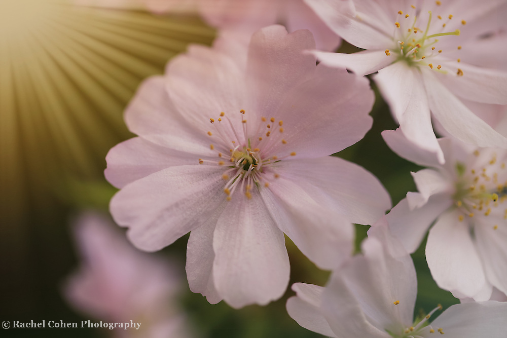 &quot;Sakura Bloooming&quot;<br /> <br /> Lovely Japanese Cherry blossoms with streams of sunbeams!