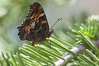 Nymphalis californica (California Tortoiseshell) at Poison Meadow, Tulare Co, CA, USA, on 08-Jul-17