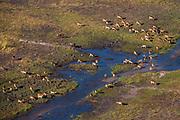 Aerial view of lechwe, Kobus leche,  grazing, Okavango Delta, Botswana.