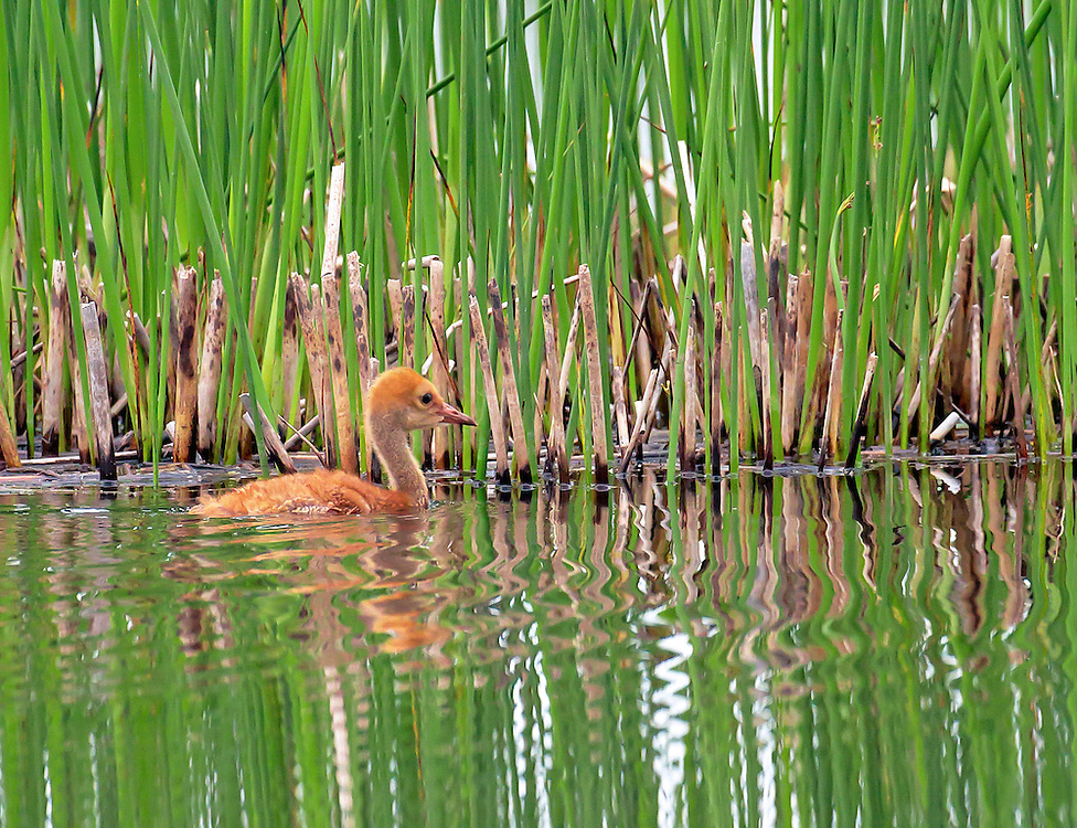 Alaska. Sandhill Crane (Grus canadensis) colt swimming in a wetland, Anchorage.