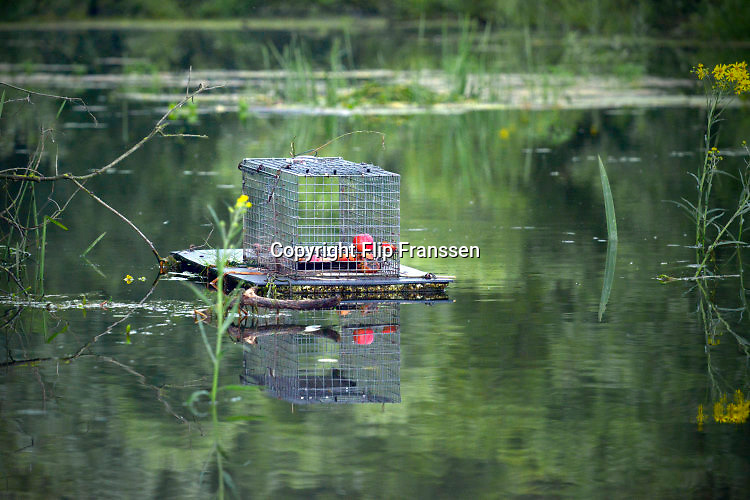Nederland, The Netherlands, Ooijpolder, 21-6-2016Een medewerker van het muskusrattenbeheer plaatst vallen in het water langs de dijk van de Waal, Rijn . De dieren worden bestreden omdat zij schade toebrengen aan de rivierdijk .Foto: Flip Franssen