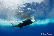 Pacific sailfish, Istiophorus platypterus, billing a teaser lure, Vava'u, Kingdom of Tonga, South Pacific