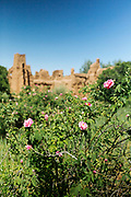 KELAAT M'GOUNA, MOROCCO - 14TH MAY 2016 - Rows of rose flowers in full bloom during the harvesting season in the Dades Valley - also known as 'the Valley of Roses' - Southern Morocco.