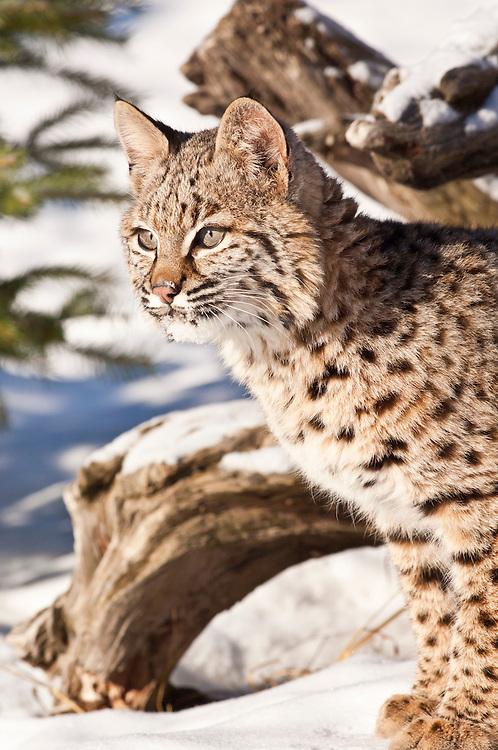 Bobcat, Felis rufus
