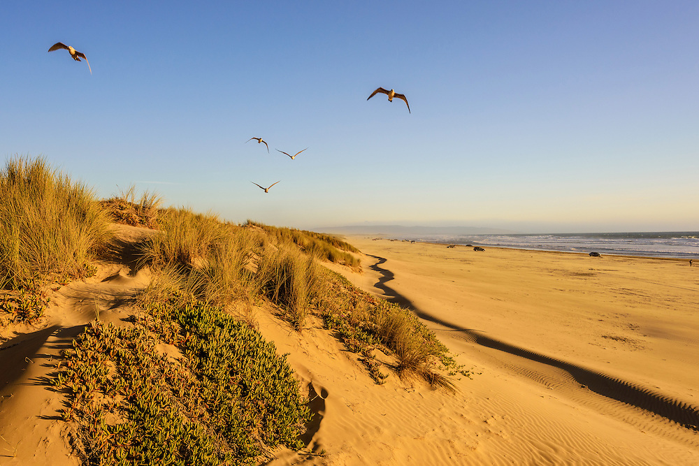 Seagulls, Oceano Dunes State Recreation Area<br /> Oceano, CA