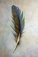 Macaw feather from Costa Rica, detail on textured background