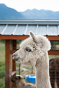 Rescued Alpaca named Icicle
