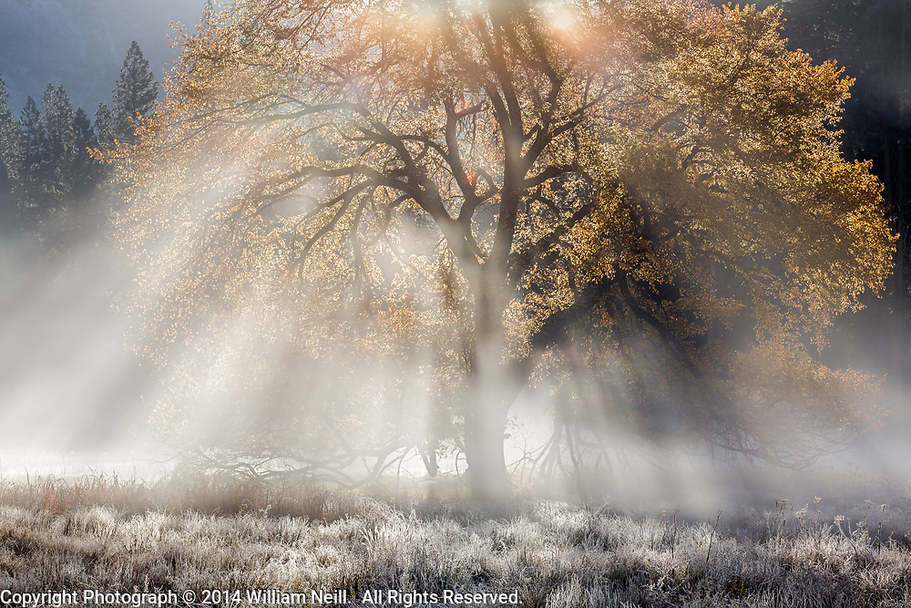 Autumn Elm and Sunbeams, Cook's Meadow, Yosemite National Park, California 2014