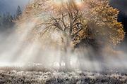 Autumn Elm and Sunbeams, Cook's Meadow, Yosemite National Park, California 2014