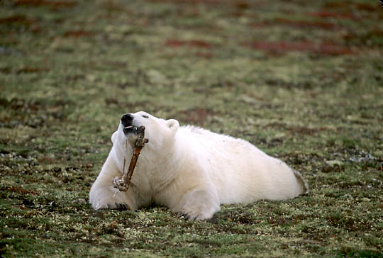 Polar Bear, (Ursus maritimus) Chewing on caribou bone on tundra. Fall. Churchill, Manitoba. Canada.