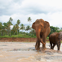 Elephants from a nearby sanctuary playing in a river, Sri Lanka