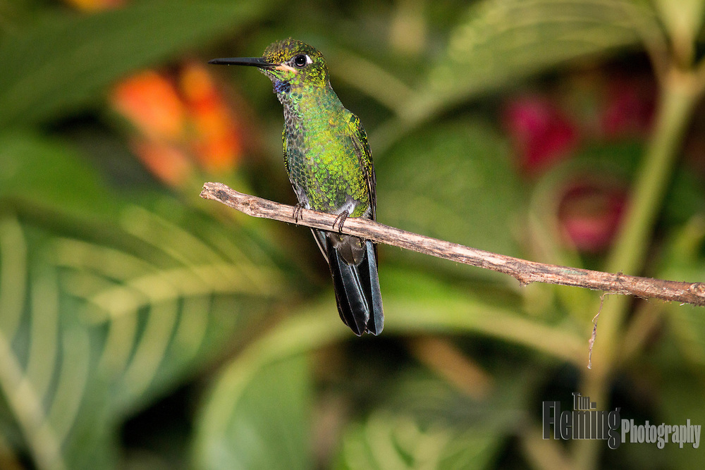 Green-crowned brilliant near Milpe, Ecuador.