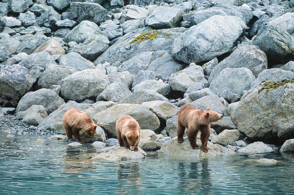 Alaska. Glacier Bay National Park. Tarr Inlet.  A family of brown bears (Ursus Arctos) forages for barnacles in the intertidal zone.