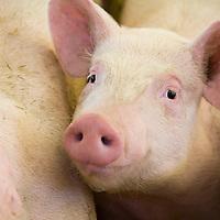 Clean pink piglet.