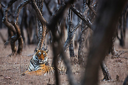 An obscured view of a resting Bengal tigress in the forest  (Panthera tigris tigris), Ranthambhore National Park, Rajasthan, India,