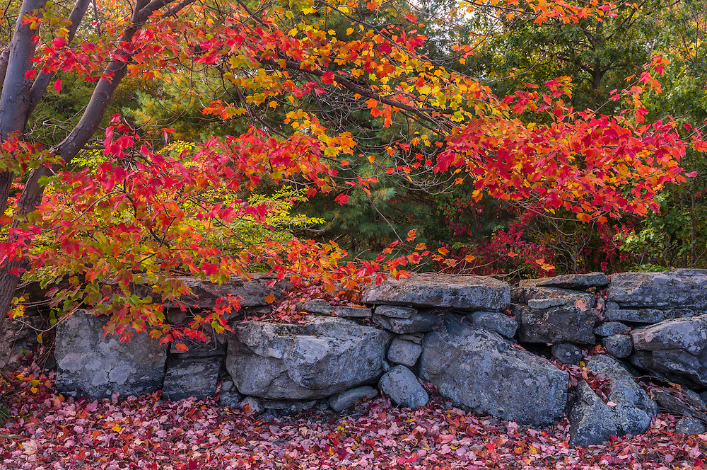Stonewall with fall foliage red maple and carpet of red leaves on ground, Berlin, MA