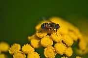 Syrphid fly (Helophilus fasciatus) on Tansy wildflowers (Tanacetum vulgare) <br />