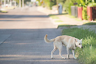 A dog roams the streets in Dallas, Texas on August 6, 2016. (Cooper Neill for The New York Times)