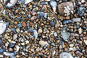 Rocky shoreline covered with masses of Blue Mussel shells (Mytilus edulis) and Common Periwinkle (Litorina littorea), Northeast Harbor, Maine
