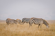 A herd of zebras grazing in California off Highway 1 on a hazy morning..