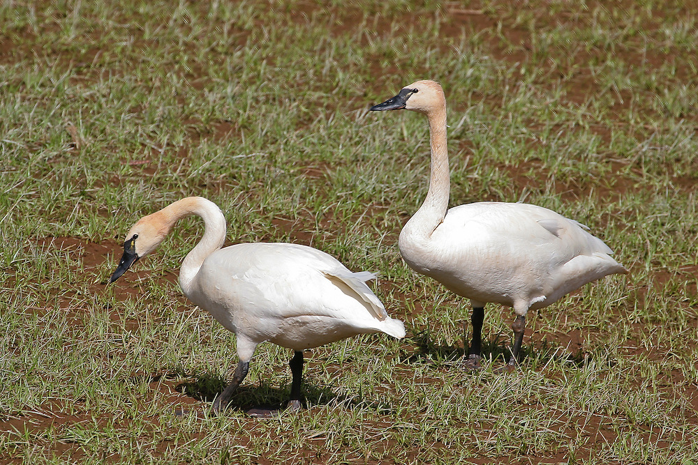 Whistling Tundra Swan photo Hawaii