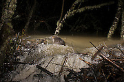 A nutria (Myocastor coypus) swims past the breach in a beaver dam during night flooding. Near Philomath, Oregon.