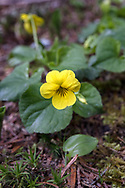 A Stream Violet (Viola gabella) flower in Golden Ears Park. The Stream Violet (also called the Yellow Wood Violet or Pioneer Violet) tends to grow along streams or in moist woodlands.  These were growing along the trail near Gold Creek in Maple Ridge, British Columbia, Canada.