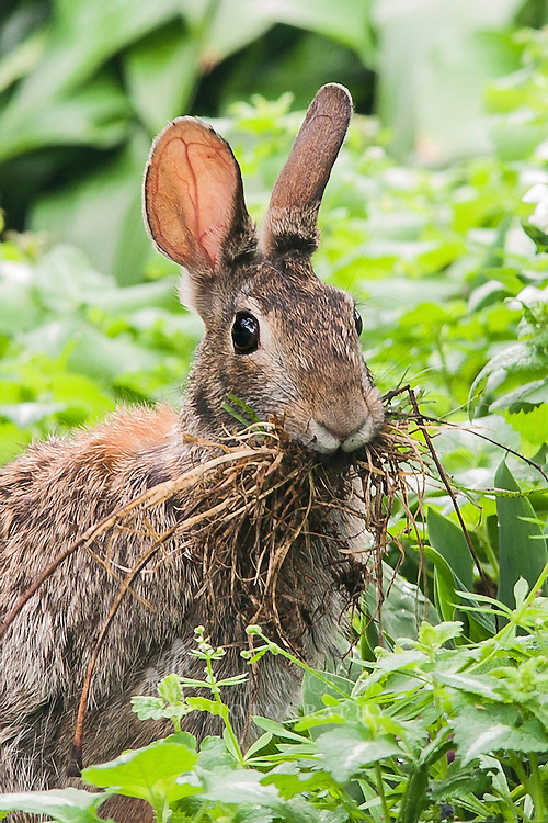 All afternoon I watched this mama–to–be gather dry grass to line her nest. Eastern Cottontail (Sylvilagus floridanus)