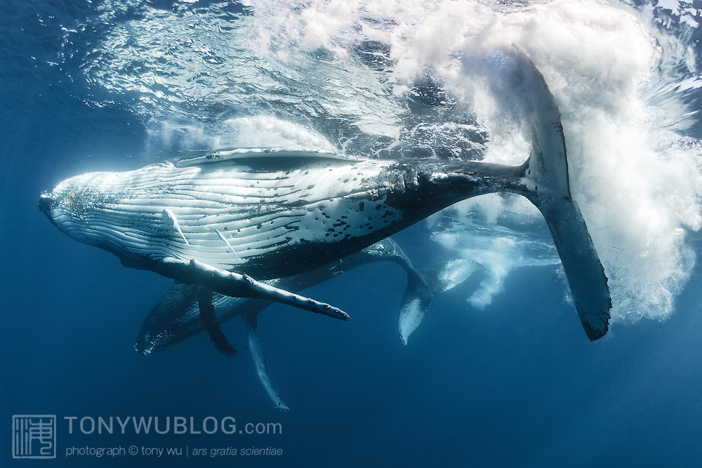 Pair of humpback whales (Megaptera novaeangliae) engaged in courtship. The male is in the foreground, with the female's mammary slits and hemispheric lobe visible in the background.