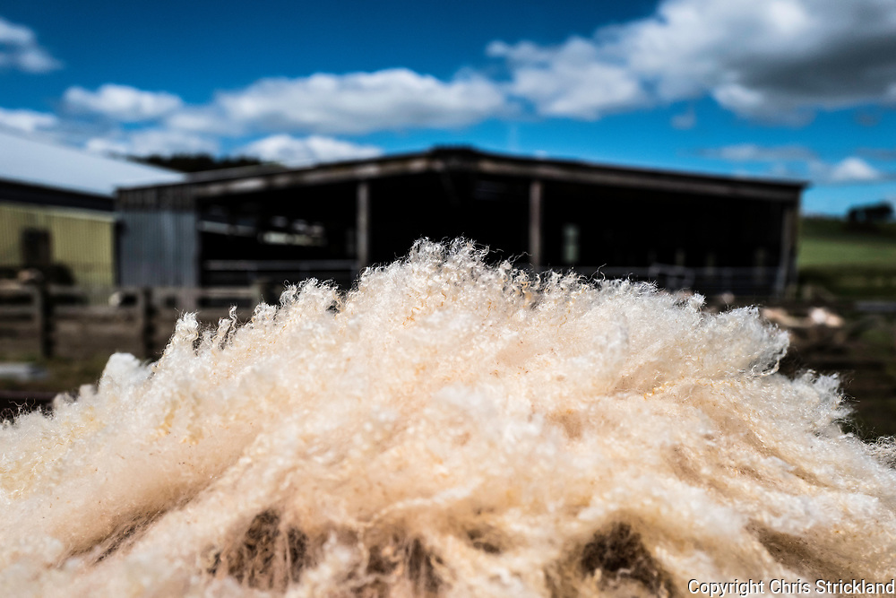 Oxnam, Jedburgh, Scottish Borders, UK. 25th June 2017. Cheviot ewes are clipped on Oxnam Row Farm in the Scottish Borders. Cheviot wool fetches a premium due to its density and is one of the few breeds that still profits from the necessity of annual shearing.