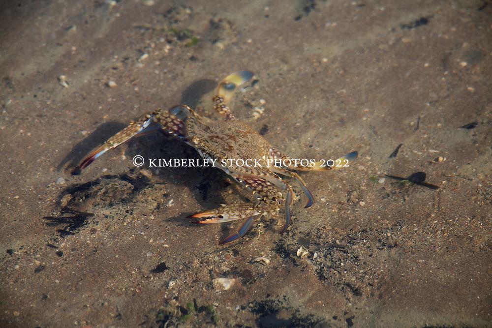 A Blue swimmer crab on a sandbank in Deception Bay in Camden Sound.