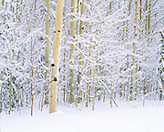 snow on winter aspens, Jackson, WY.