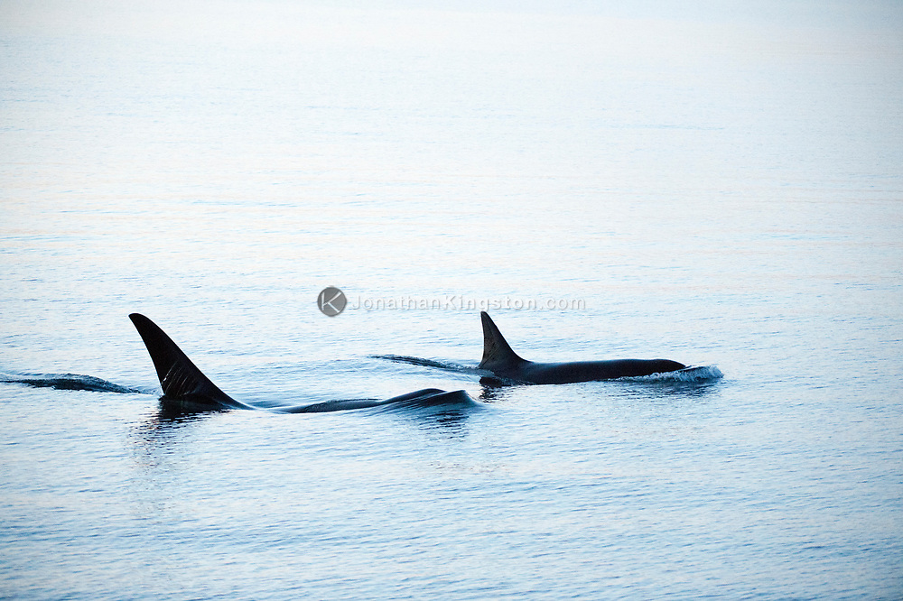 Two Killer whales in the inside passage, British Columbia, Canada.