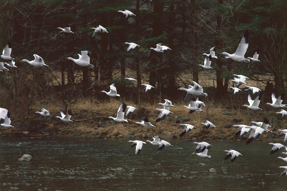 Snow Geese,Catskill Park, , Esopus Creek, New York, Hudson River Valley
