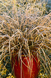 Uncinia rubra in a red pot in winter