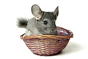 Chinchilla in a straw basket On white Background
