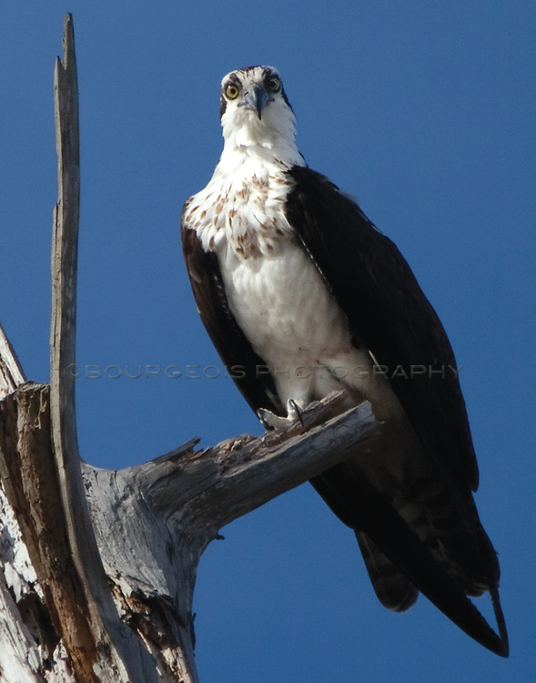 An Osprey in Gautier, Mississippi with an injured eye sits high atop a tree on a branch surveying the area with a rich blue sky in background.