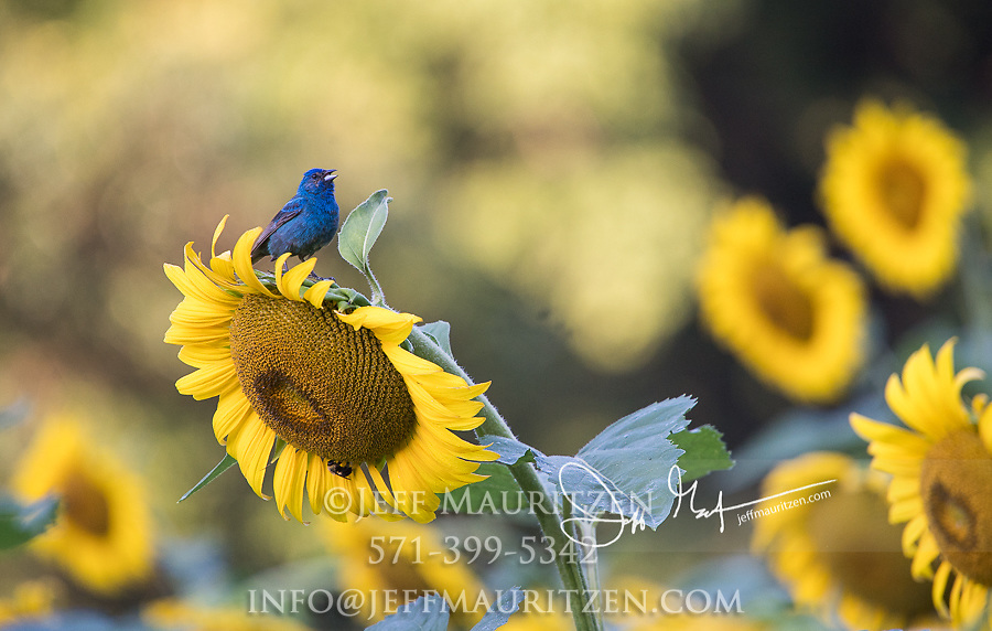 An Indigo bunting perches on a sunflower at McKee-Beshers Wildlife Management Area in Montgomery Co. Maryland.