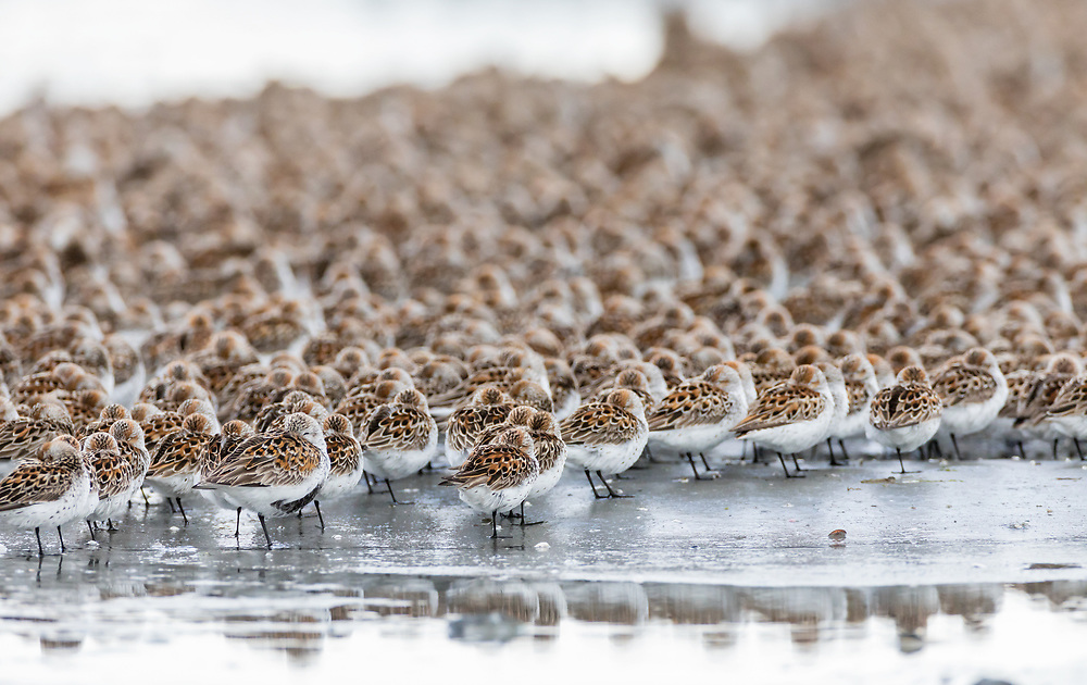 Western Sandpipers (Caldris mauri) and Dunlin (Calidris alpina) resting at Hartney Bay in Cordova in Southcentral Alaska. Spring. Morning.