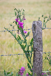 EverlastingPea growing wild by a barbed wire fence . Lathyrus latifolius