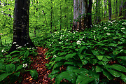 Meadow of blossom ramson in an old beech forest