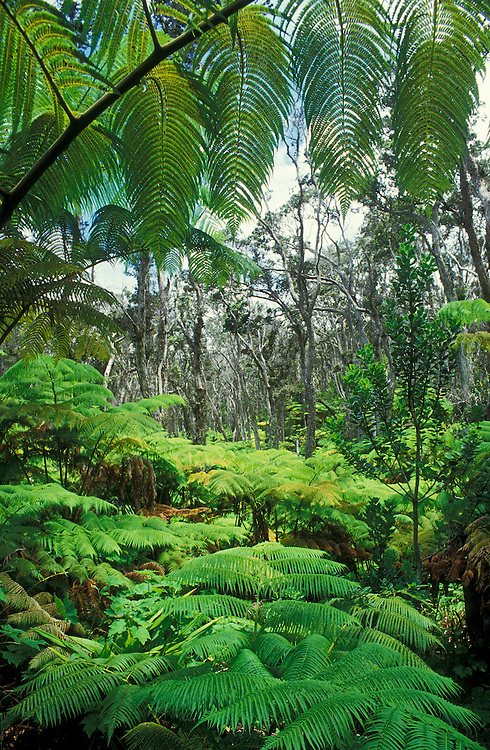 Tree ferns and ohia trees in native Hawaiian rainforest; Hawaii Volcanoes National Park.