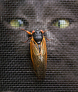 A lone cicada, a member of Brood X, makes its way up a screen window as a curious cat watches in cross-eyed wonderment on the Eastern Shore of the Chesapeake in nearby Maryland.