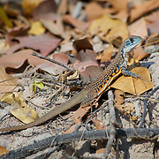 An Eyed Butterfly lizard, leiolepis ocellata, at Huai Kha Kaeng Wildlife Sanctuary in Thailand.